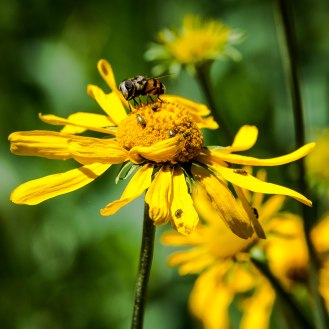 Mexican Cactus Fly on Sneezeweed