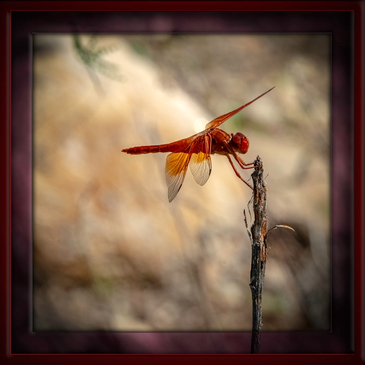 Sabino CanyonFlame Skimmer-August 27 2014-framed-72
