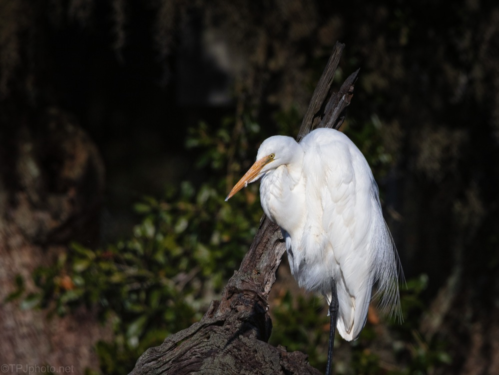 A Bridal Feather, Egret