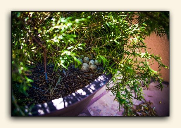 Quail Eggs (1 of 1) blog